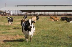 cows-1086048_960_720